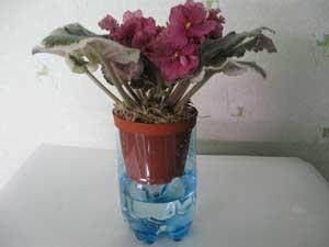 У фиалки мельчают цветы почему